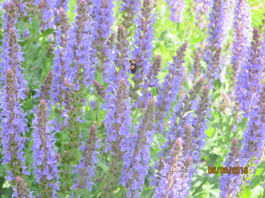 A bumble bee in my speedwell, a/k/a Veronica. This flower likes well drained soil and lots of sun.