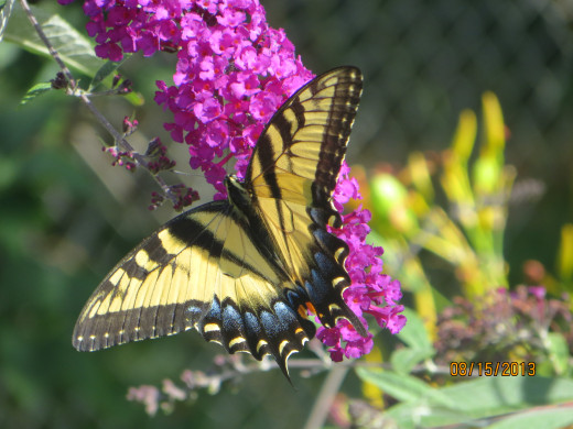A butterfly on my butterfly bush.