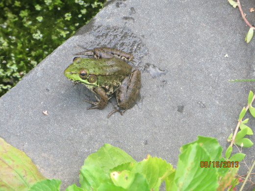A frog sunning himself beside the pond.