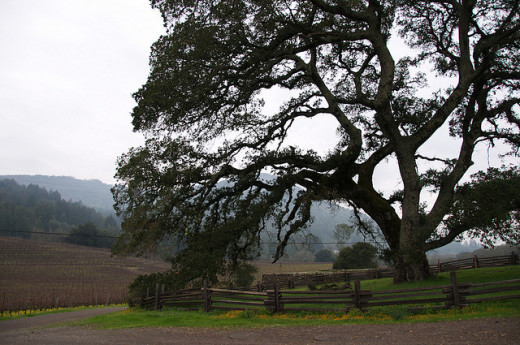 An oak tree at the Beauty Ranch that Jack London owned. This was listed as being the oak tree but it may be another one. It has a different fence.