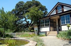Jack London's Oak Tree in Trouble