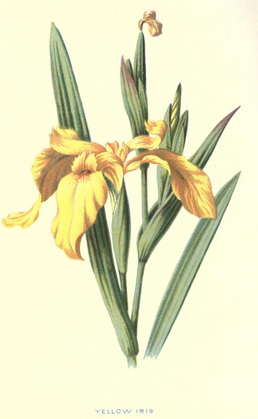 Familiar wild flowers  1878