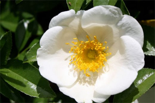 Cherokee rose at the Athens Botanical Garden in Georgia