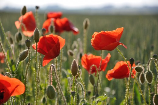 Poppies are said to be poisonous...but aren't they used to make medications?