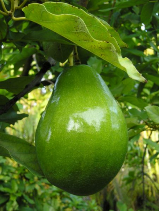 Avocados are fruit that grow on trees and ripen after being harvested