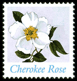 How To Draw Cherokee Rose