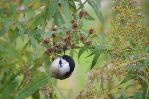 A black capped chickadee busy collecting seeds in October.