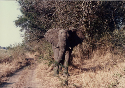I took the photo of this charging elephant from the back seat of the jeep I was riding in.  Yes, it was scary!!!  The driver had backed up into the river so we could see the elephants bathing and cooling off in the water, this one didn't like it!