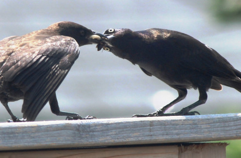 'Mama' Grackle feeding cockroach and bugs to her young one