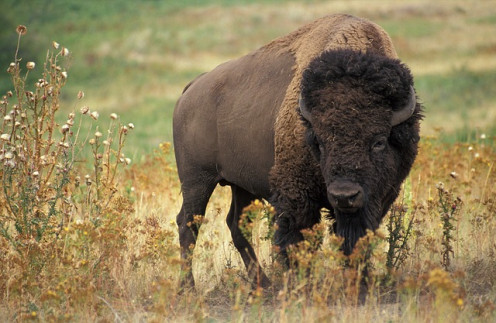 Bison still inhabit Kansas.