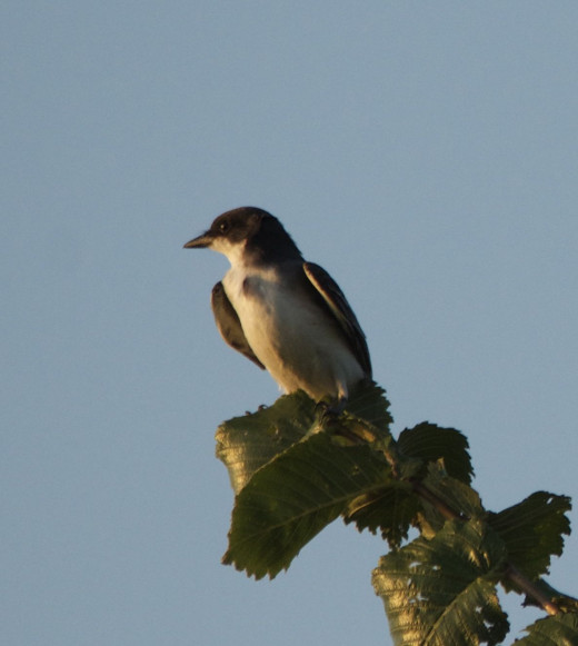 Eastern Kingbird Surveying His Domain