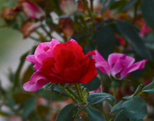 Roses at Last Light