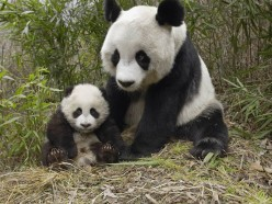 Baby Panda Facts For kids