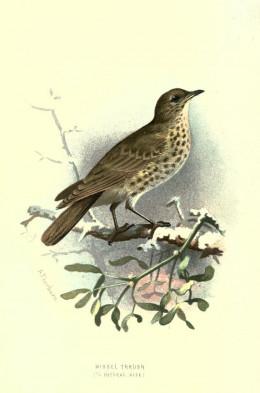 Familiar wild birds { 1883}