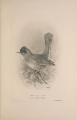 British Warblers {1907}