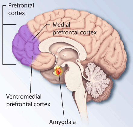 Brain structures involved in dealing with fear and stress.
