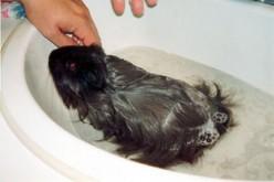 You Can Bathe Your Guinea Pig