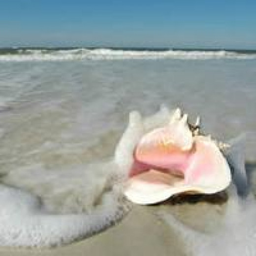 No, conch shells are not that clean when you find them underwater -- if you find them. They must be cleaned and polished. (You'll have more of a chance of finding one in a gift shop than the ocean floor, especially near a beach).