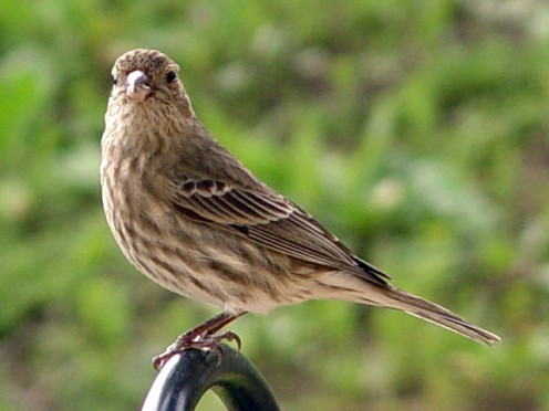 Carpodacus mexicanus (female House Finch). Ventura County, California, USA. (See capsule 'Observations I made...')