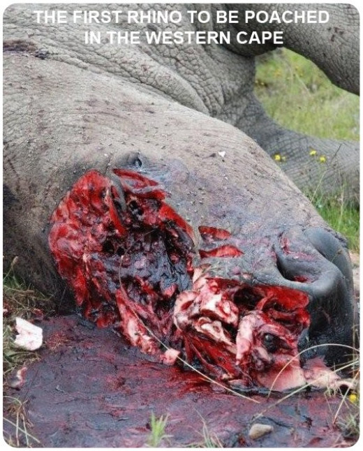 Rhino poaching in the Cape