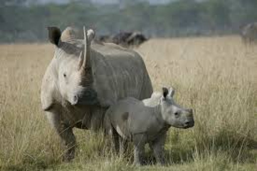 A rhino and her baby