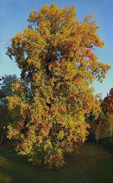 Tulip Poplar, the Kentucky state tree.