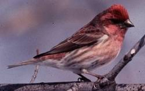 A male Purple Finch (Carpodacus purpureus) USDA Forest Service, Okanogan and Wenatchee National Forests