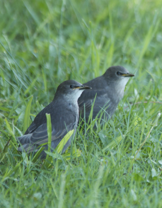 Fledgling European Starlings