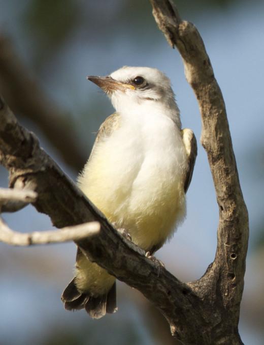 Fledgling Scissor-tailed Flycatcher Portrait
