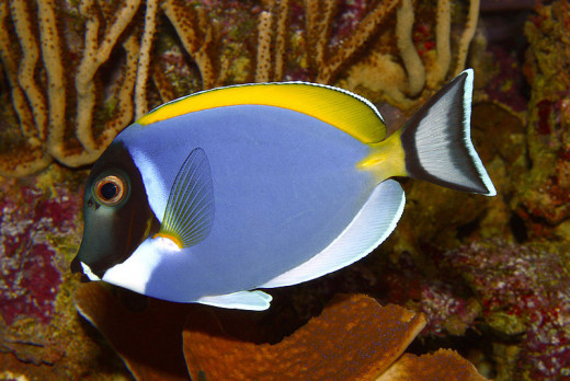 White Throated Surgeonfish