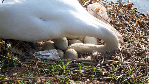 Swan's eggs in its nest