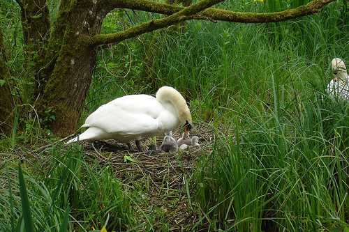 Female swan with its cygnets