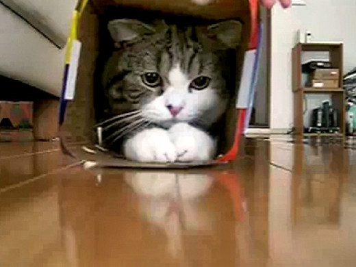 Kitty Squeezed in Box