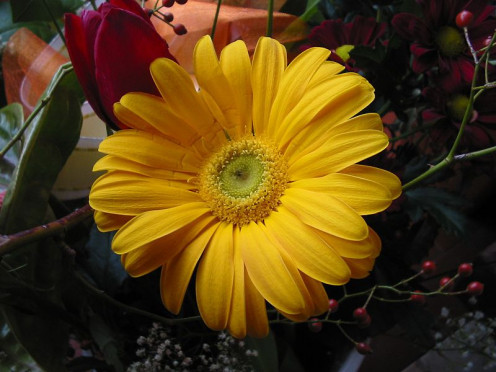 This is a lovely Gerbera in yellow.  How cheerful this would be in a bouquet!