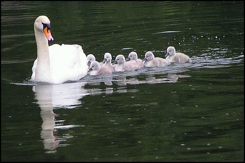 Cygnets swimming with their mother