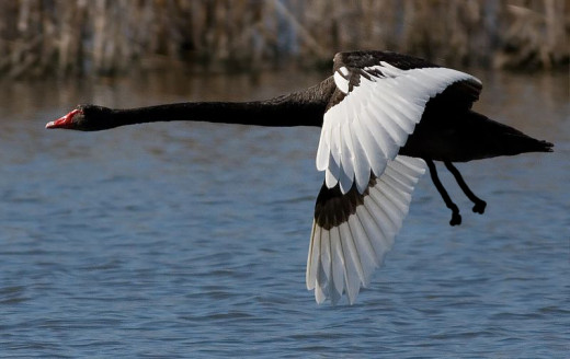 Black swan flight