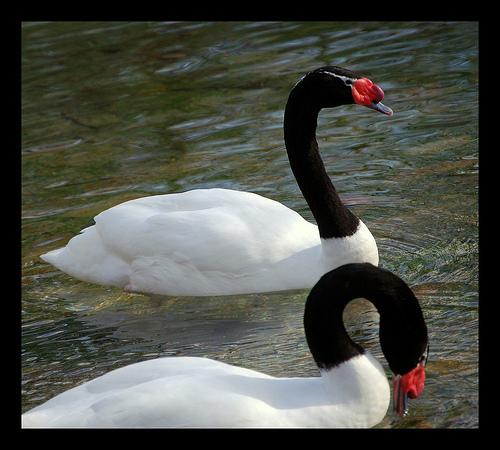 Black-necked swan lake