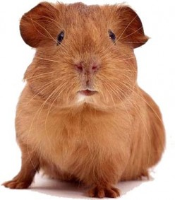The History of the Guinea Pig