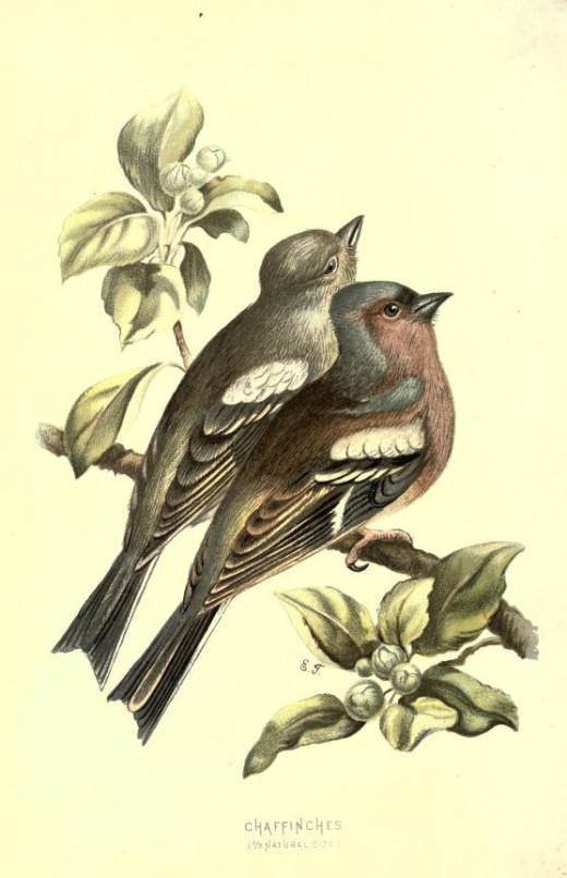 Familiar wild birds {published 1907 -1914}
