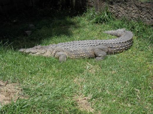 A Nile Crocodile specimen at the Kitale Museum