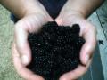 Growing Blackberries as a Medicinal Herb