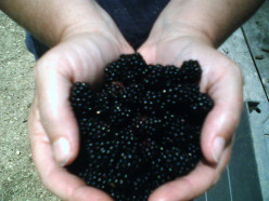 Growing Blackberries as a Medicinal Herb