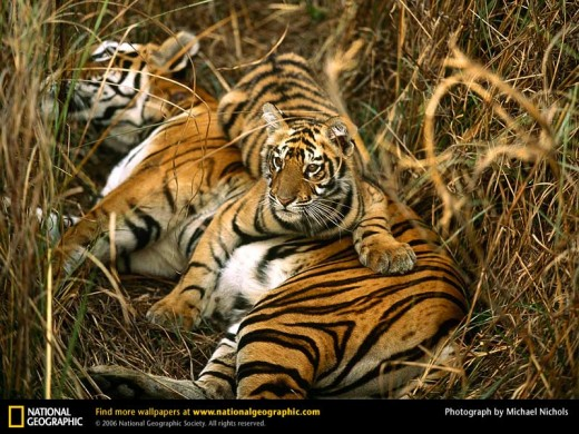 Bengal Tigers Two Cubs (from www.nationalgeographic.com)