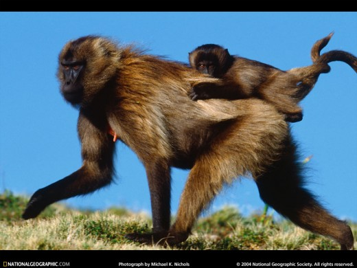 Baby Gelada (from www.nationalgeographic.com)