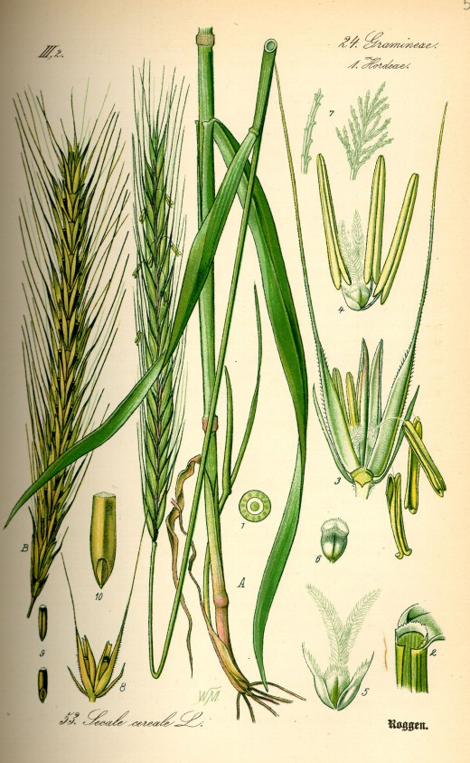 Rye (Secale cereale).