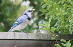A 'Family' Bird -  The Blue Jay