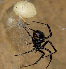 A female Western Black Widow.  The female of the species is much larger than the male and has by far the most venomous bite.  She is jet black in color and has the distinctive hour glass marking on her lower abdomen, which is typically red.