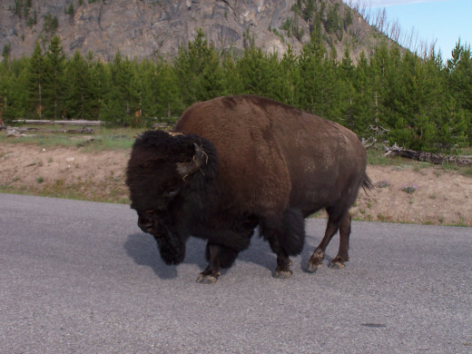 Bison will greet you during your stay