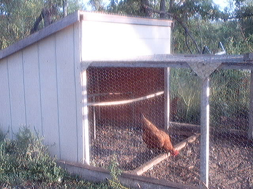In this chicken tractor, this hen is feeding herself and working the soil at the same time