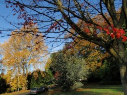 Tree colours, University of Exeter campus A variety of shades on offer by Streatham Drive, west of Washington Singer.